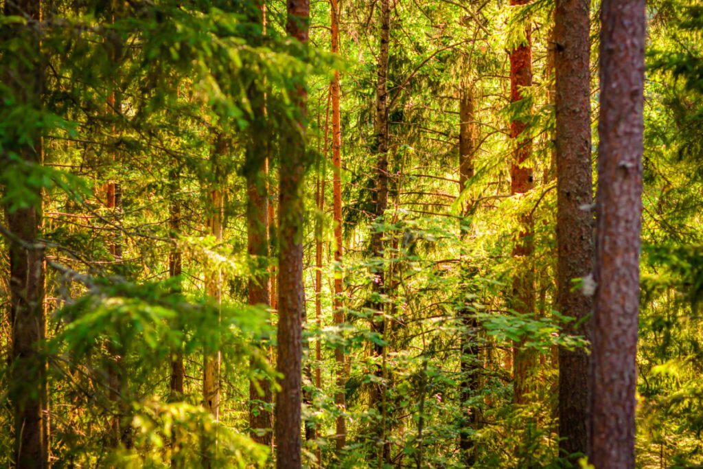 Metsän jatkuvapeitteinen kasvatus