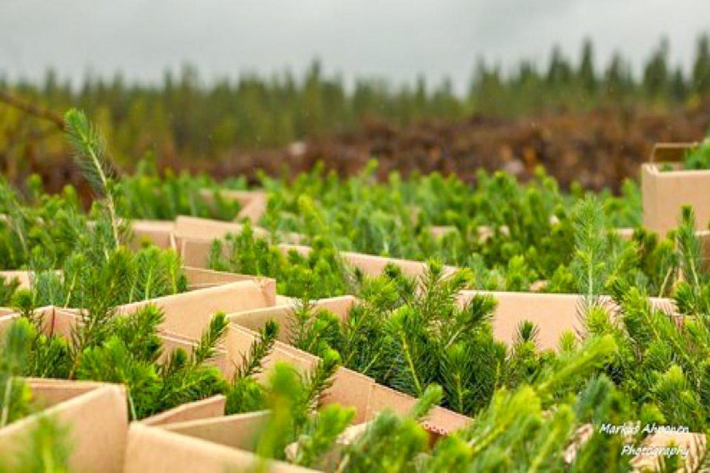 Metsän uudistaminen taimen istutus